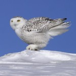 Harfang des neiges Bubo scandiacus Snowy Owl